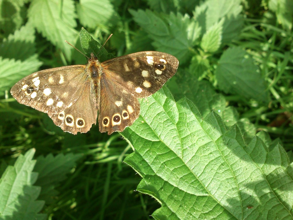 Speckled wood butterfly, 15.09.14